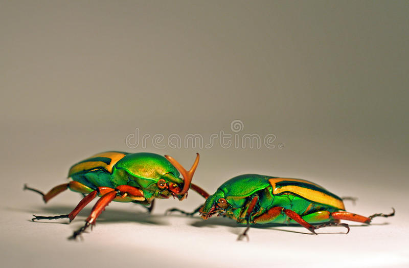 African Flower Beetles stock photos