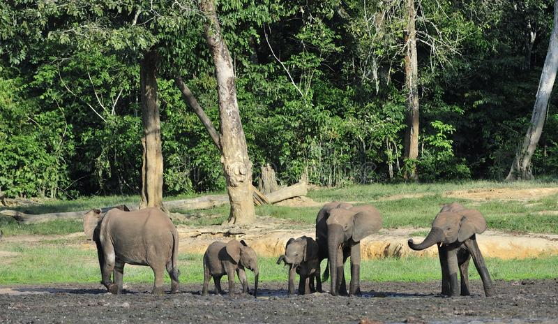 The African Forest Elephant, Loxodonta africana cyclotis, (forest dwelling elephant) of Congo Basin. At the Dzanga saline. (a forest clearing) Central African stock image
