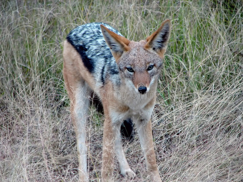 Download African fox stock photo. Image of stealth, wilderness - 10243678