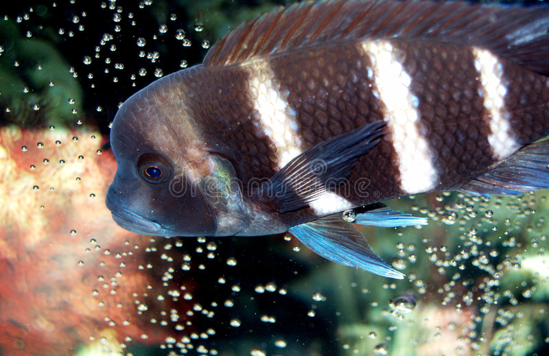 African Frontosa Cichlid Stock Photo