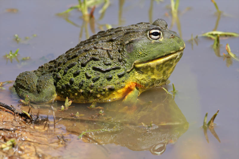 African Giant Bullfrog Royalty Free Stock Photography