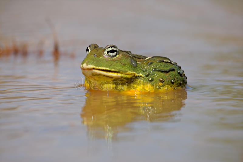 African giant bullfrog. Male African giant bullfrog (Pyxicephalus adspersus) in shallow water, South Africa stock photo
