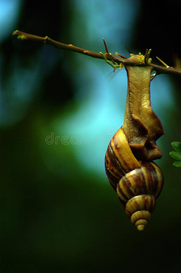 Giant snail hanging on the branch of plant stock image