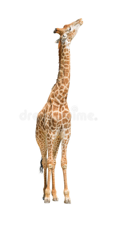 African giraffe raising head up cutout royalty free stock image