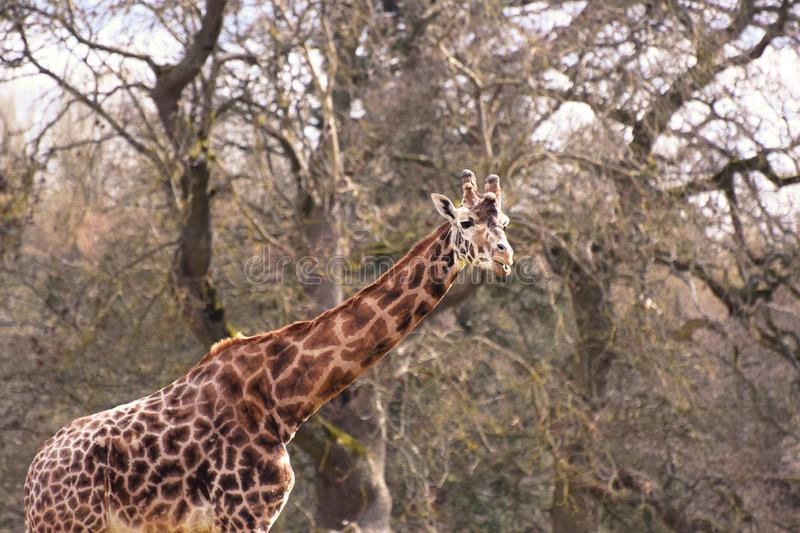 African Giraffe. An African Giraffe with trees in the background looking at me stock photos