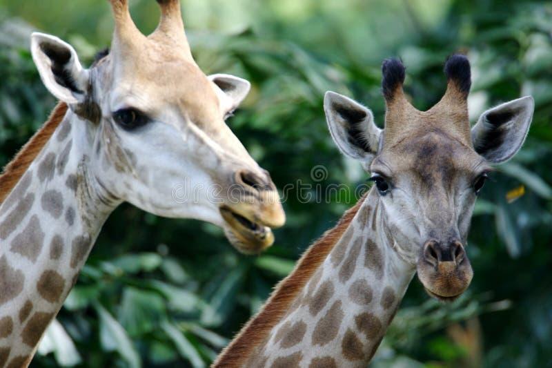 African Giraffes royalty free stock photos