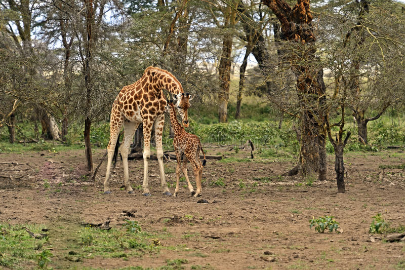 Download African Giraffes stock image. Image of chaparral, african - 39514257