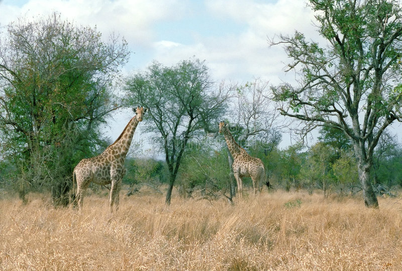Giraffes Zimbabwe Africa stock photo