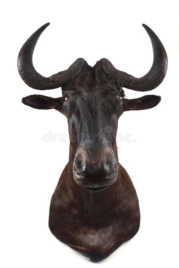 Free African Gnu Royalty Free Stock Photos - 14357668