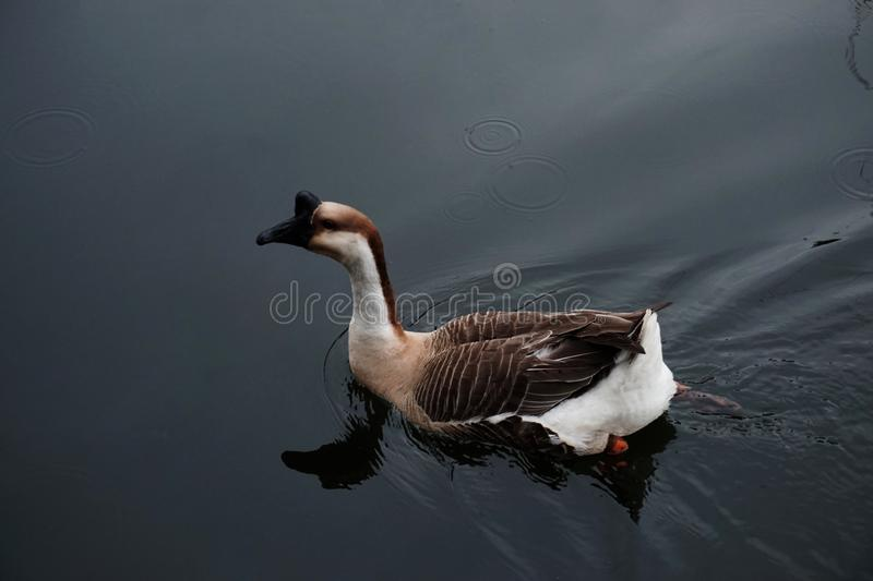 African Brown Goose | Beauty of Birds royalty free stock photo