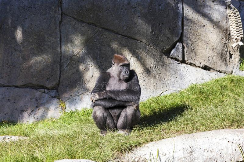 African Gorilla with folded arms sitting in Animal Habitat Enclosure. Pensive Sub Saharan African Gorilla Gorilla Beringei Sitting inside Animal Habitat royalty free stock photos