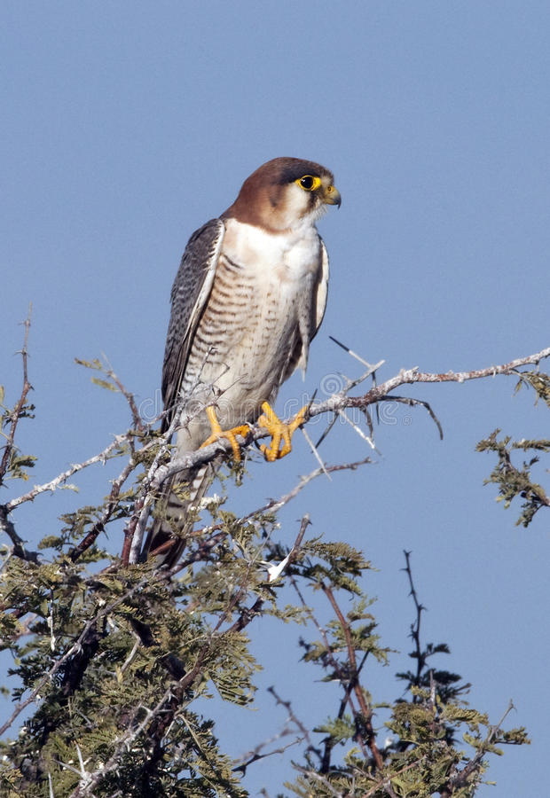 Download African Goshawk - Botswana stock photo. Image of chobe - 13939566