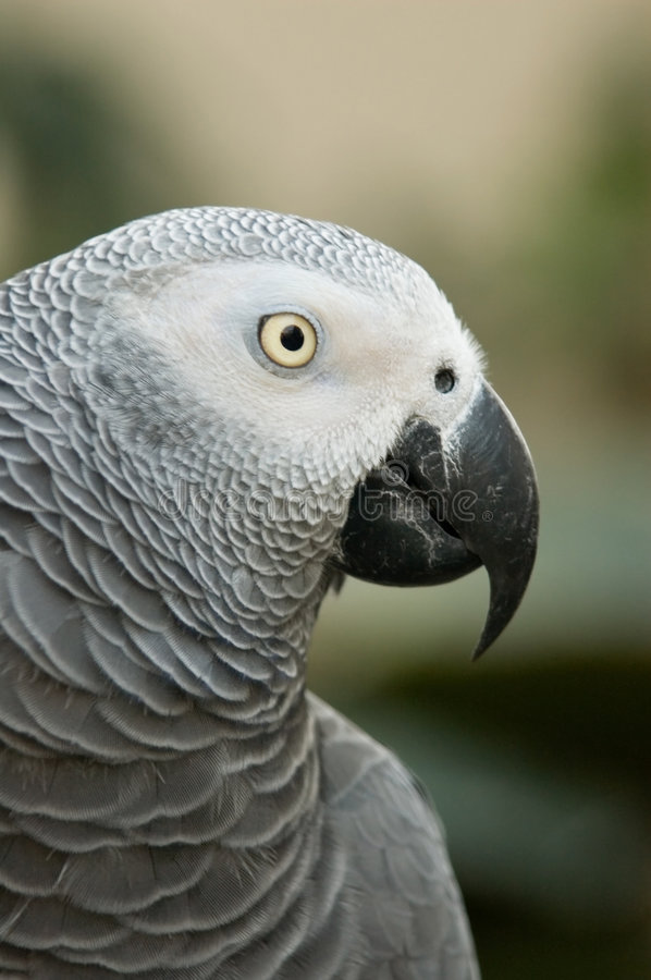 African Gray Parrot royalty free stock image