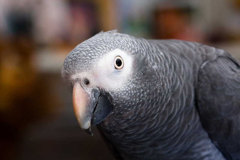 African grey royalty free stock images