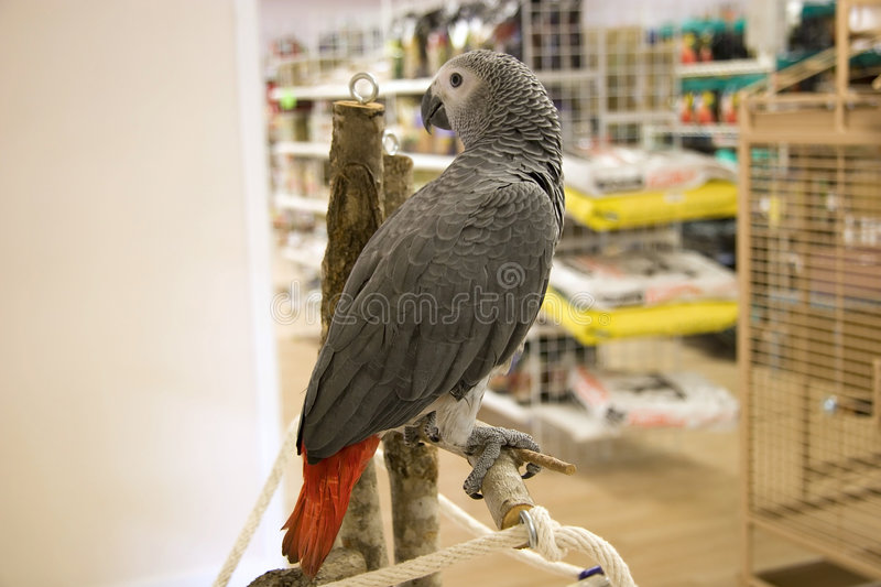 African Grey. Sitting on a Tree Perch in a Bird Store stock images