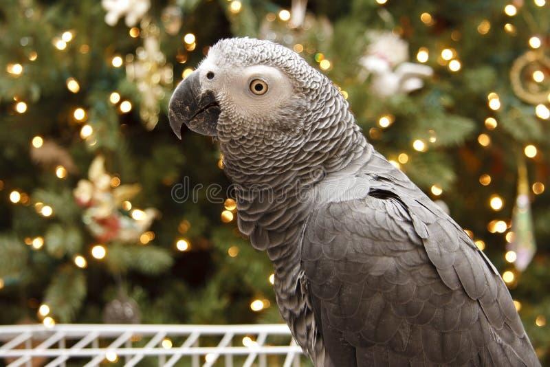 African Grey at Christmas royalty free stock photos