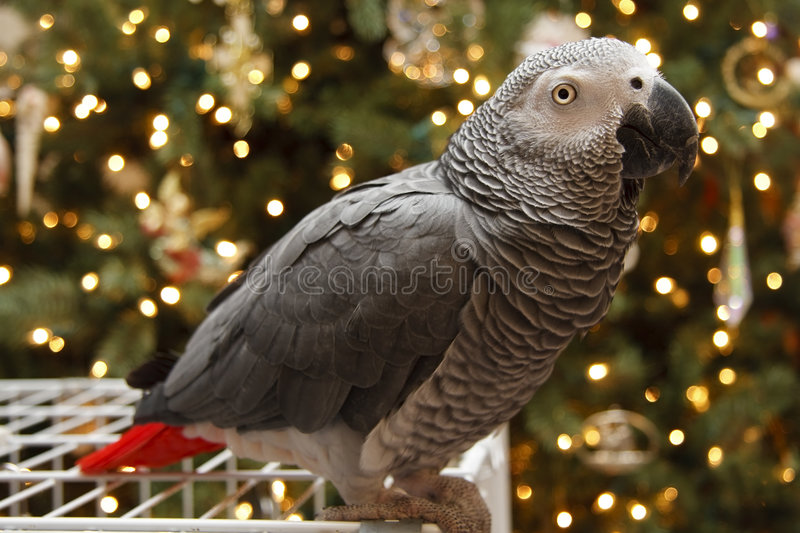 African Grey at Christmas stock photo