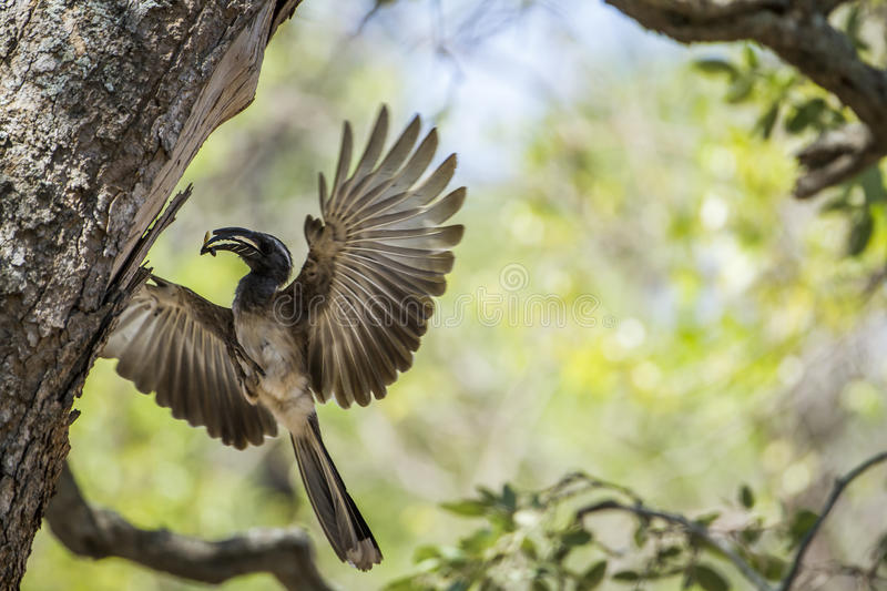 African Grey Hornbill in Kruger National park, South Africa. Specie Tockus nasutus family of Bucerotidae, African Grey Hornbill in Kruger National park, South stock images
