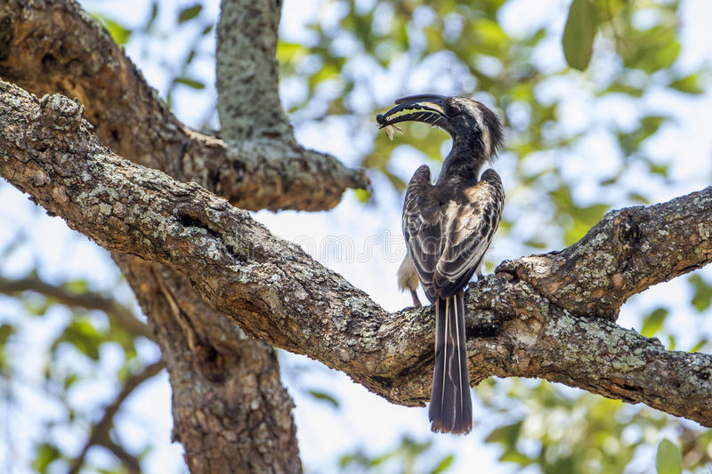 African Grey Hornbill in Kruger National park, South Africa. Specie Tockus nasutus family of Bucerotidae, African Grey Hornbill in Kruger National park, South stock photography