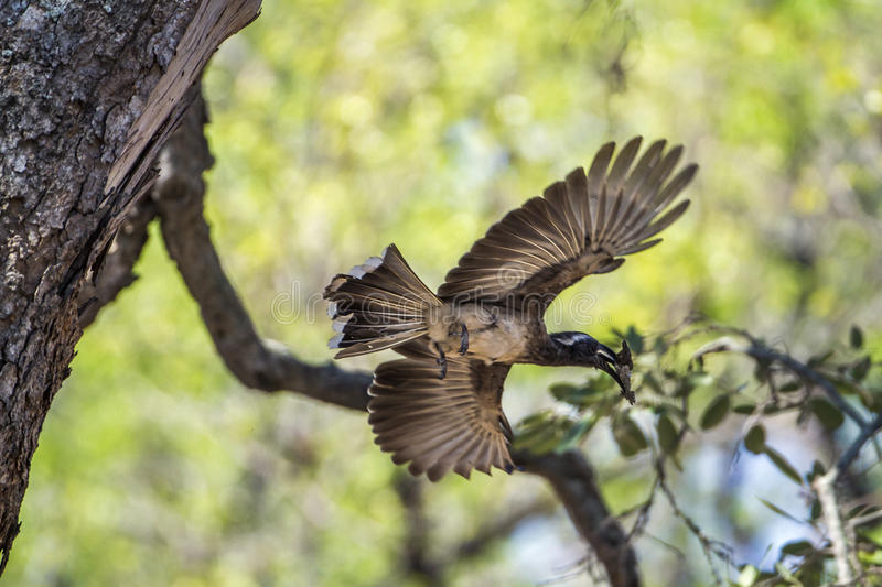 African Grey Hornbill in Kruger National park, South Africa. Specie Tockus nasutus family of Bucerotidae, African Grey Hornbill in Kruger National park, South royalty free stock image