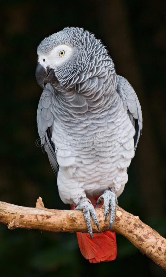 African Grey Parrot. Close-up bird portrait of African Grey Parrot, Psittacus erithacus stock photography