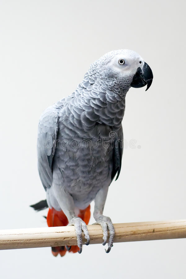 Download African grey parrot stock photo. Image of ajinka, psittacus - 13832552