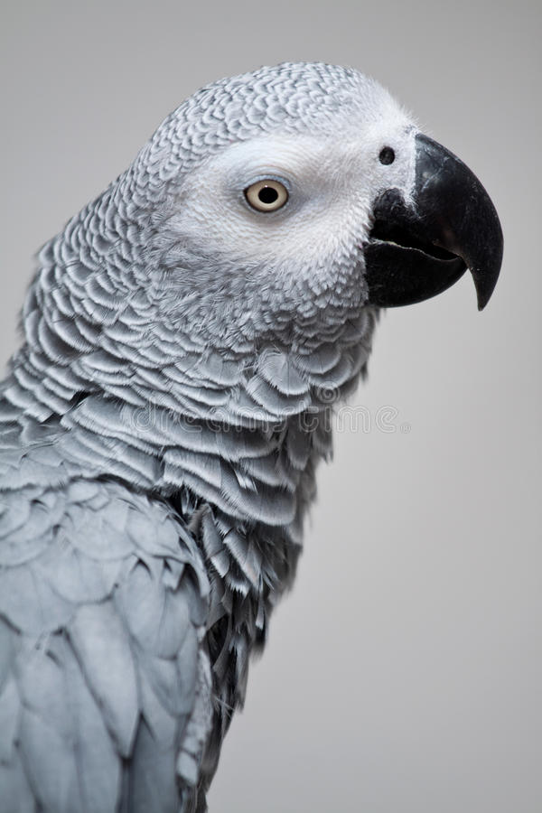 African grey parrot. Side portrait of African grey or gray parrot; light background stock image