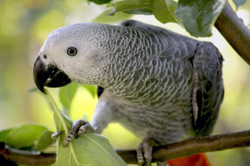 An African Grey Parrot. Sitting in a tree royalty free stock image