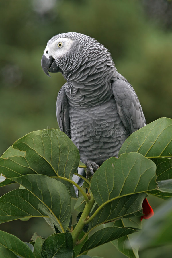 Download African Grey Parrot stock photo. Image of wildlife, parrot - 2231558