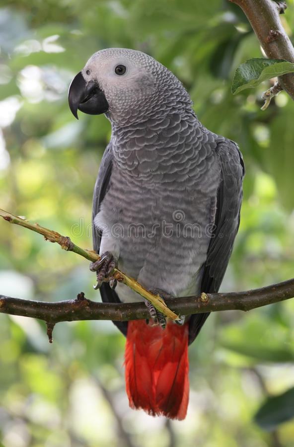 African Grey Parrot. Sitting in a tree stock images