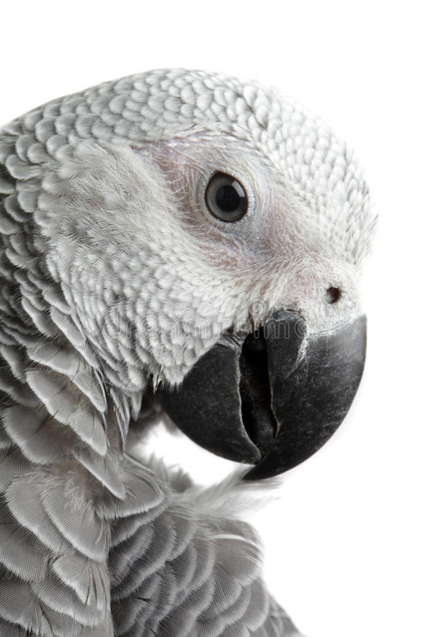 African Grey Parrot. Isolated on a white background stock photography