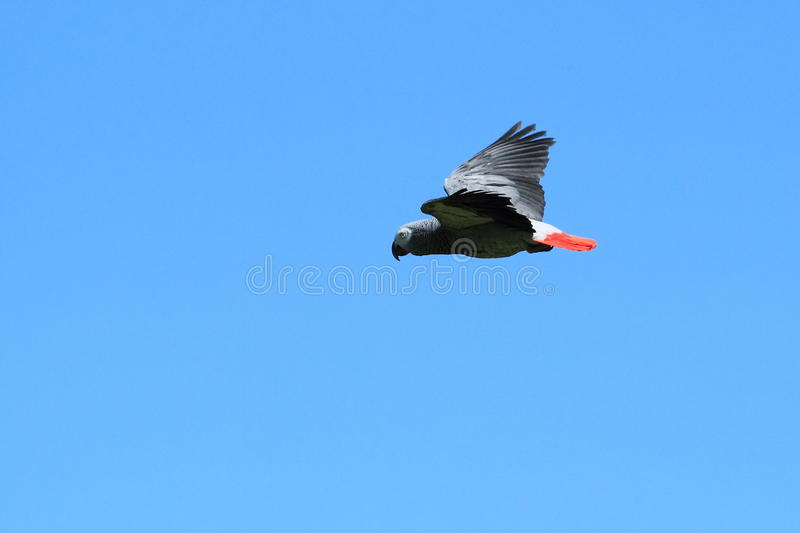 African grey parrot. The flying african grey parrot royalty free stock image