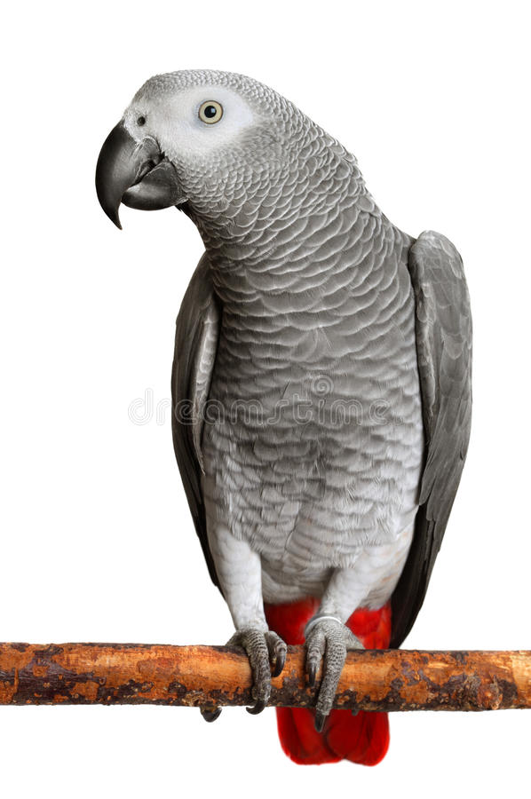 African Grey Parrot. Photo of African Grey Parrot on white stock photography