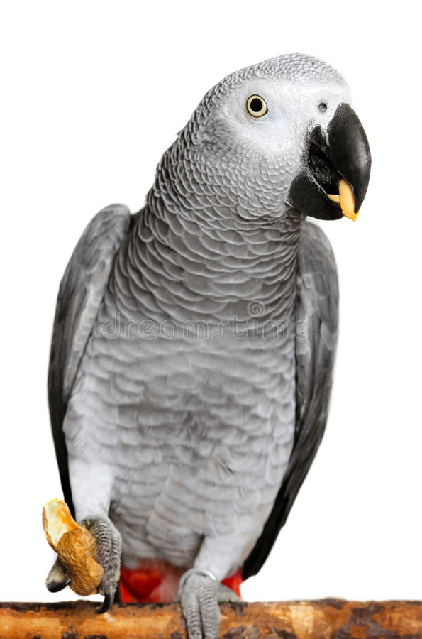 African Grey Parrot. Photo of African Grey Parrot on white royalty free stock photos