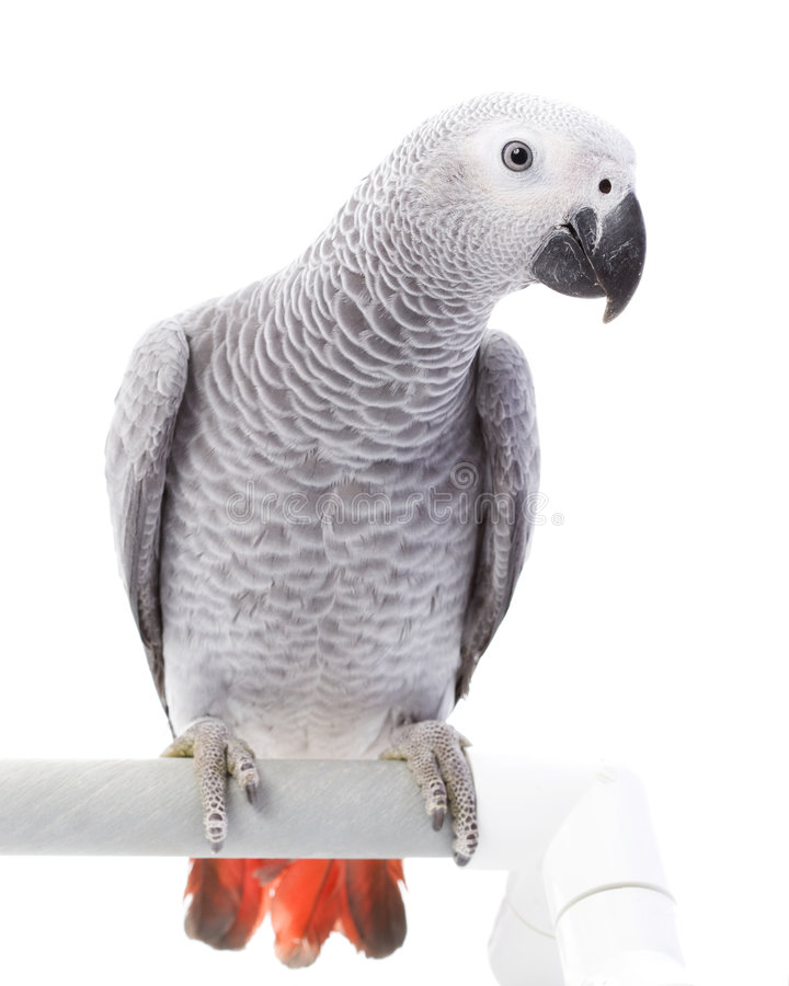 African Grey Parrot. (Psittacus erithacus) on white background stock image