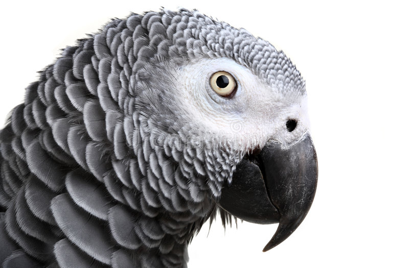 African Grey Parrot. Isolated on white stock photography