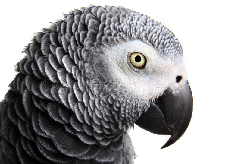 African Grey Parrot. Isolated on white stock images