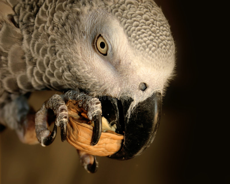 African grey parrot. Eating a nut stock photos