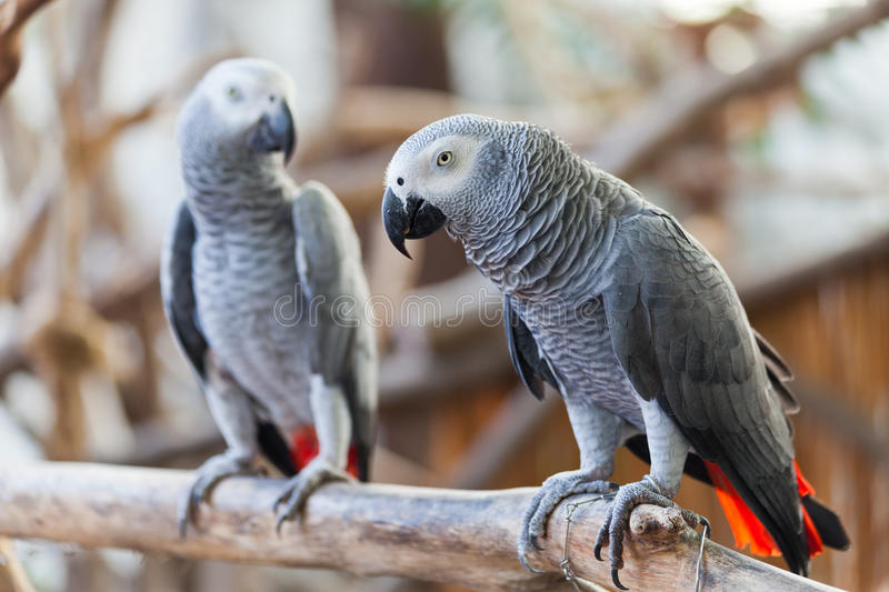 African Grey Parrot. On a branch royalty free stock photo