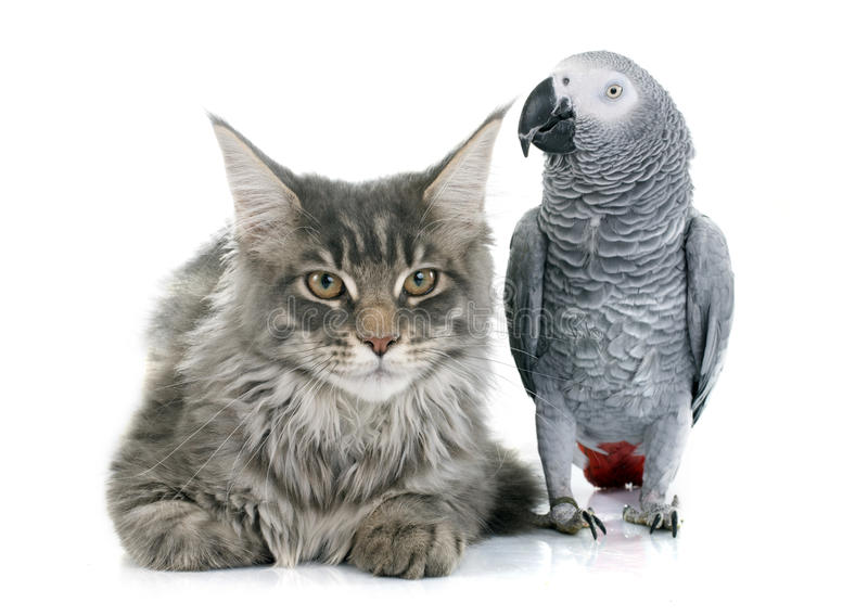 African grey parrot and cat. African grey parrot and maine coon cat in front of white background royalty free stock photos