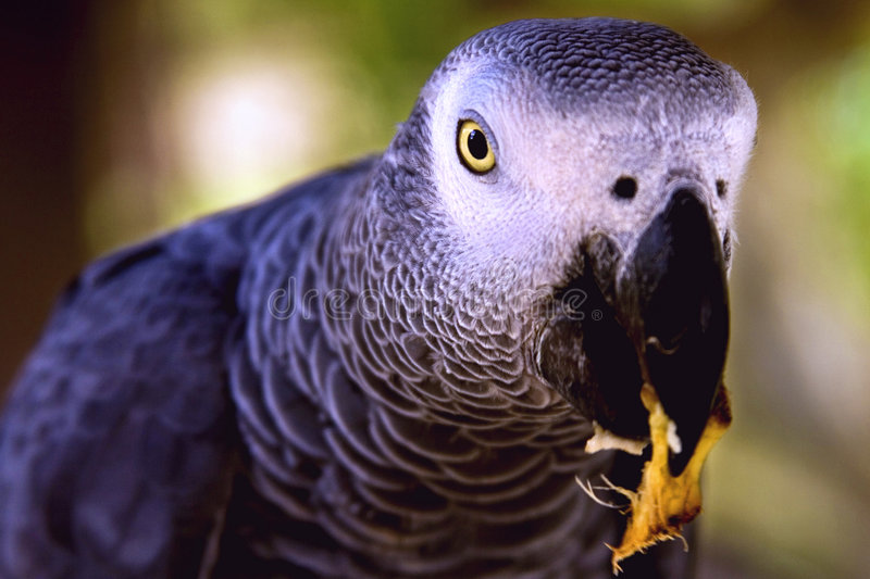 Download African Grey Parrot Eating Stock Images - Image: 4388934
