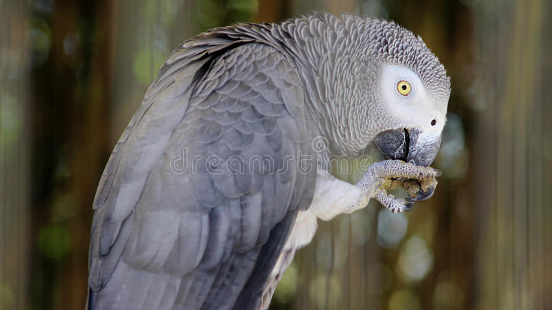 African Grey Parrot. Eating and Flying away royalty free stock photography