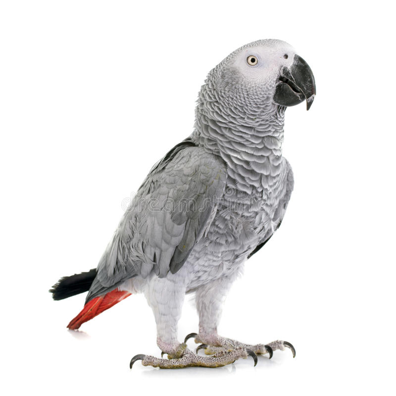 African grey parrot. In front of white background royalty free stock photography