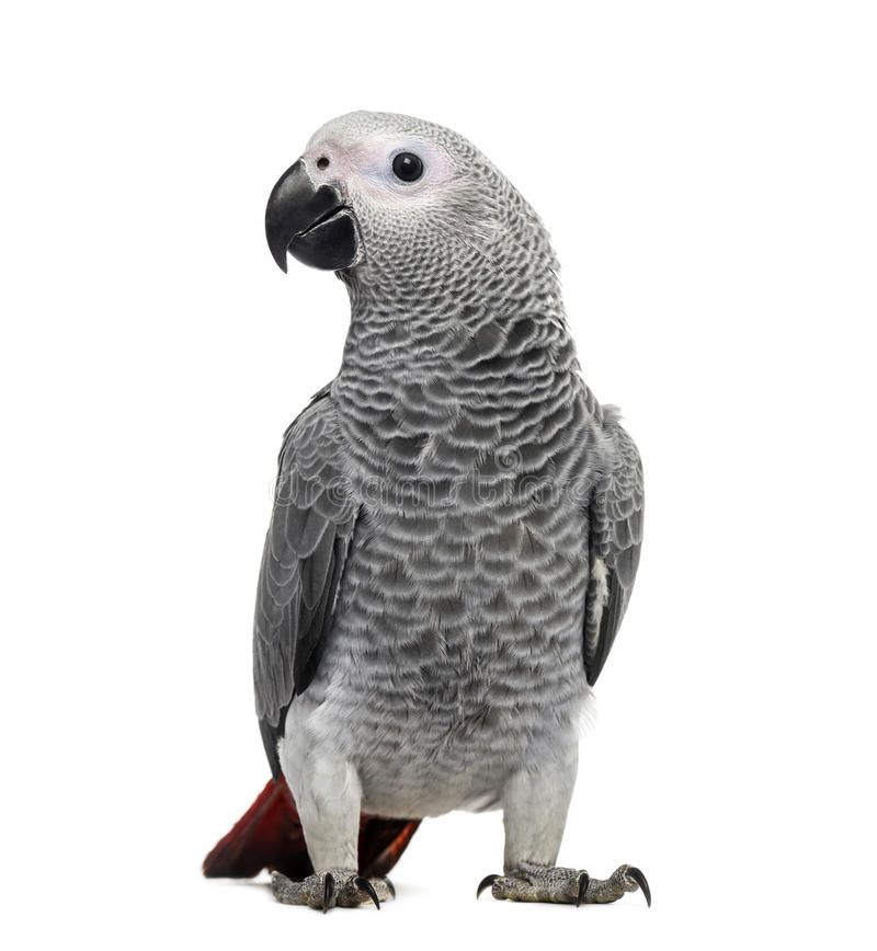 African Grey Parrot (3 months old) stock photo