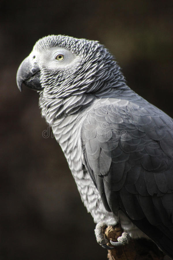 African Grey Parrot - Profile Close-up royalty free stock photo