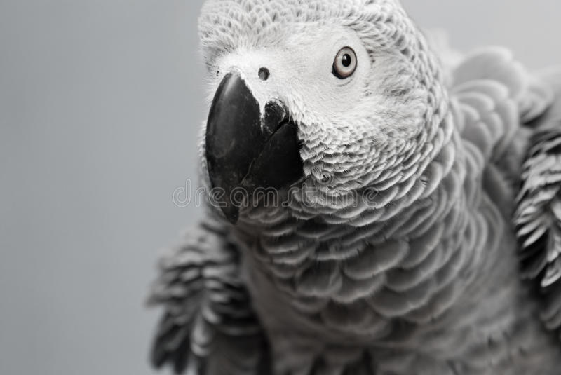 African Grey Parrot royalty free stock images