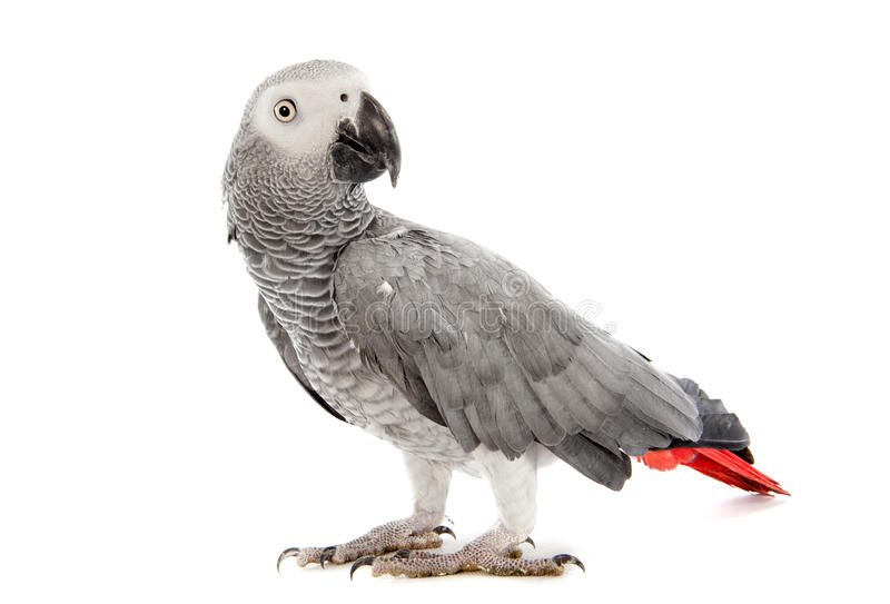 African Grey Parrot. Psittacus erithacus in front of white background stock photos