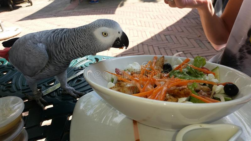 African grey. Parrot sharing lunch royalty free stock images