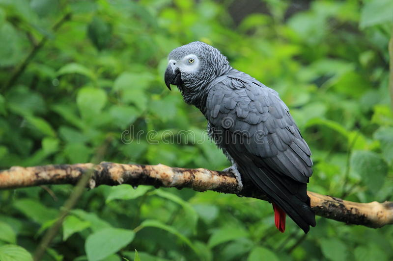 African grey parrot. The african grey parrot sitting on the branch stock photo