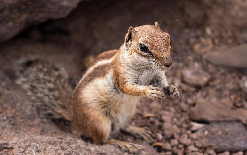 African ground squirrel. Cute little African ground squirrel on a background of stones royalty free stock photo